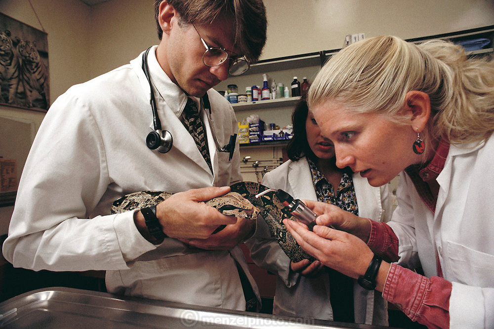 Medical Exam of a Boa Snake. Veterinarian School, University of California, Davis. MODEL RELEASED.
