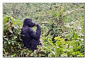 Mountain Gorilla. Bwindi, Uganda.  Nikon D300, 24-70mm @ 48mm (72mm in DX modus), f4, EV-0.33, 1/320sec, ISO400, Aperture priority