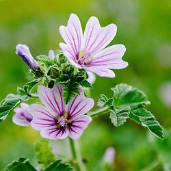 Malvaceae, Kaasjeskruidfamilie