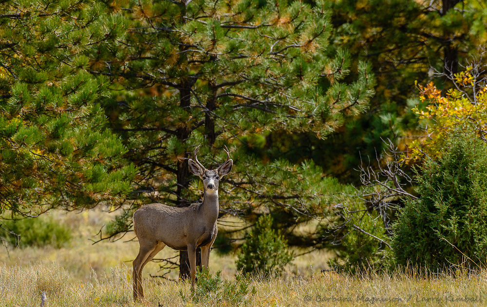 Mule Deer [Odocoileus hemionus] buck; Indian Springs, Colorado