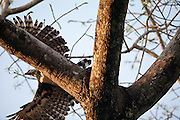 Parauapebas_PA, Brasil...Programa de Conservacao do Gaviao Real  (Harpia harpyja) na Floresta Nacional de Carajas, Para. Na foto voo do Gaviao Real...Preservation Program of the Harpy Eagle (Harpy harpyja) at the National Forest of Carajas, Para. In the photo the Gaviao Real flight...Foto: JOAO MARCOS ROSA / NITRO