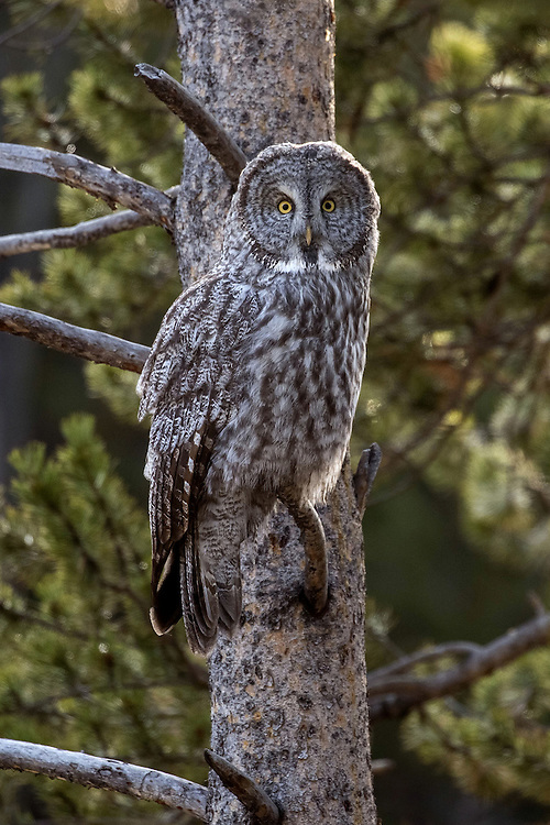 An uncommon sight in Yellowstone, the great grey owl, can be seen in areas where dense coniferous forest meets an open meadow. These meadows are the owl's preferred hunting sites as rodents and other prey are plentiful there.