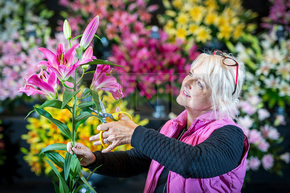 © Licensed to London News Pictures. 25/04/2018. Harrogate UK. Loraine Hart from Cheshire put's the final touches to her display of Lilies at the Harrogate Flower Show that open's tomorrow in Yorkshire. Photo credit: Andrew McCaren/LNP