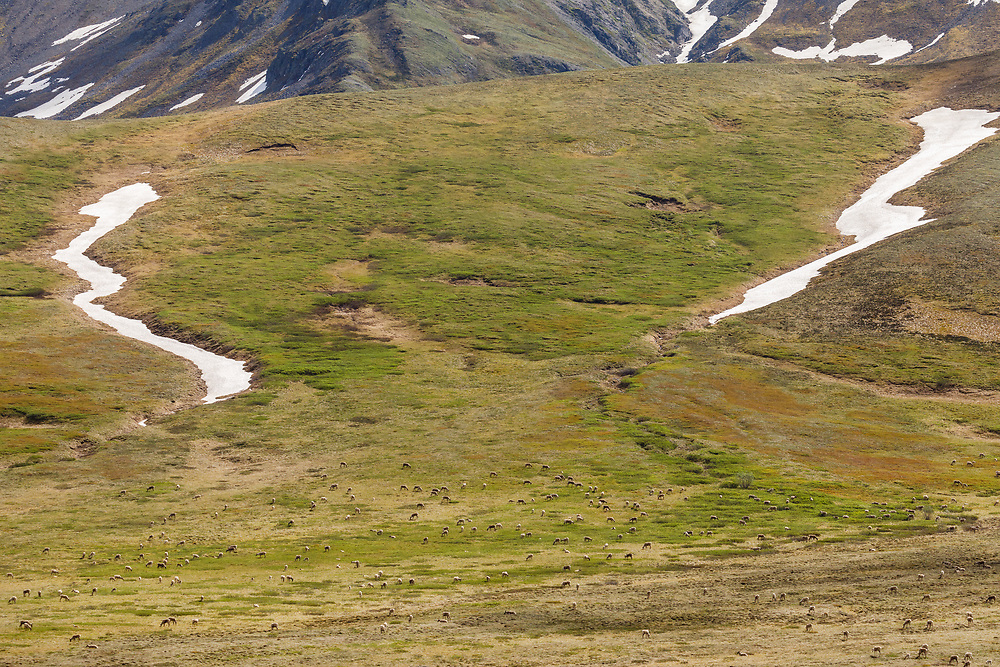 Caribou (Rangifer tarandus) foraging in Denali National Park in Interior Alaska. Summer. Afternoon.