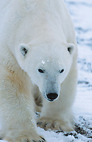 Polar Bear walking in snow Yukon