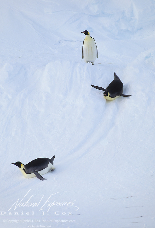 Emperor Penguin (Aptenodytes forsteri) adults sliding on the Riiser Larsen Ice Shelf in Antarctica.