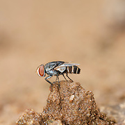 A Miltogramminae fly of the family Sarcophagidae. They are kleptoparasites of solitary bees and solitary wasps (not eusocial species). This fly was photographed in the Pang Sida National Park in Thailand.