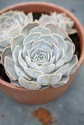 Echeveria lilacina AGM in a terracotta pot