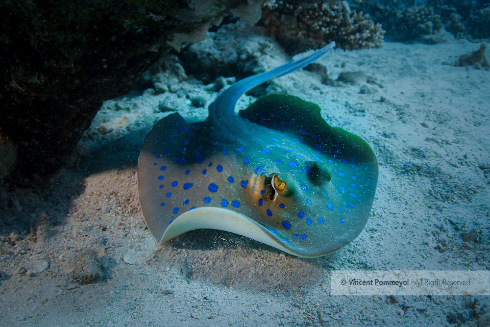 Bluespotted ribbontail ray-Raie pastenague à points bleus-(Taeniura lymma) of Red Sea, Egypt.