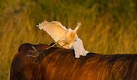 Cattle Egret, Bubulcus ibis<br /> Photographer: Cissy Beasley<br /> Ranch: Welder Wildlife Refuge - Rob &amp; Bessie Welder Wildlife Foundation<br /> Refugio County