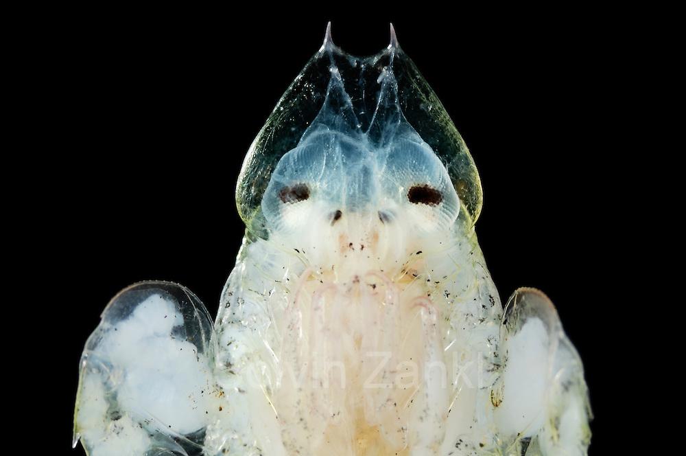 Flohkrebs (Primno macropa) ist ein ca. 3 cm großer, pelagisch (im freien Wasser) lebender Krebs, der oft von tauchenden Lummensturmvögeln (Pelecanoididae) erbeutet wird.