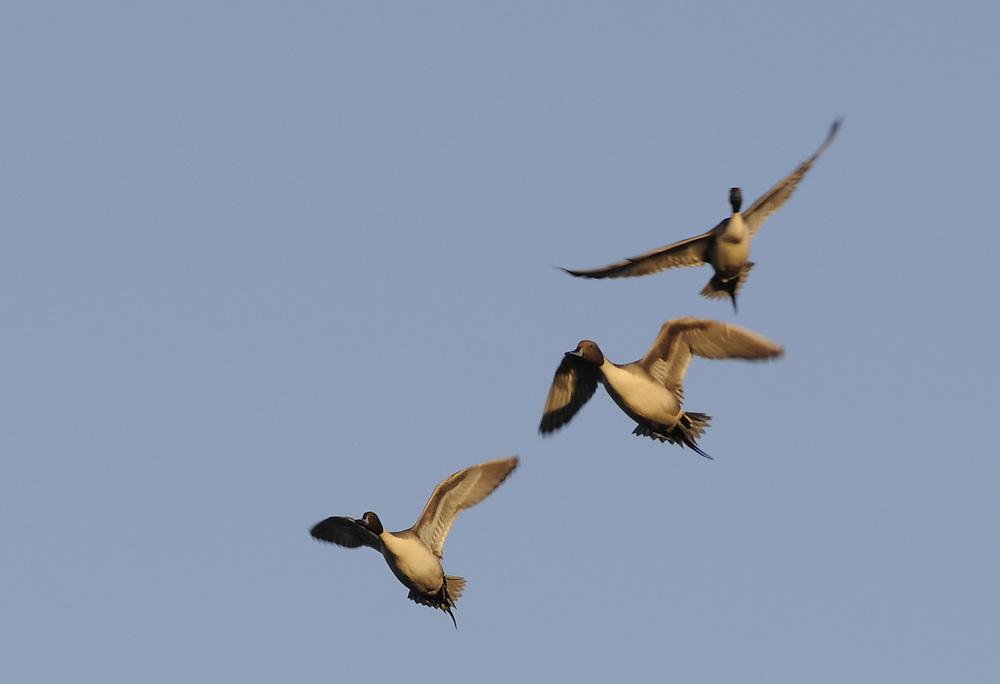 A group of pintail fly south along the Gila River near Yuma Arizona.