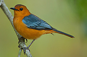 Robins & Robin-Chats