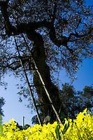 La primavera nella campagne comincia a diffondersi attraverso la crescita dell'erbetta, di fiori creando un suggestivo contrasto con gli alberi ed il cielo. La scala viene utilizzata dai contadini per la potatura stagionale degli ulivi.
