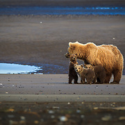 Brown / Grizzly Bear digging for clams, Lake Clark National Park, Alaska.