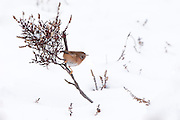 Dartford warbler (Sylvia undata) on snow covered heathland. Chobham Common, Surrey, UK.