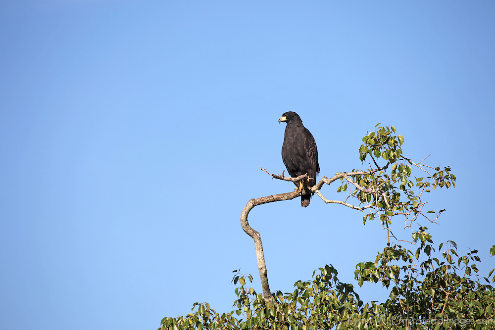South America, Brazil, Pantanal. A Great Black Hawk of the Pantanal.