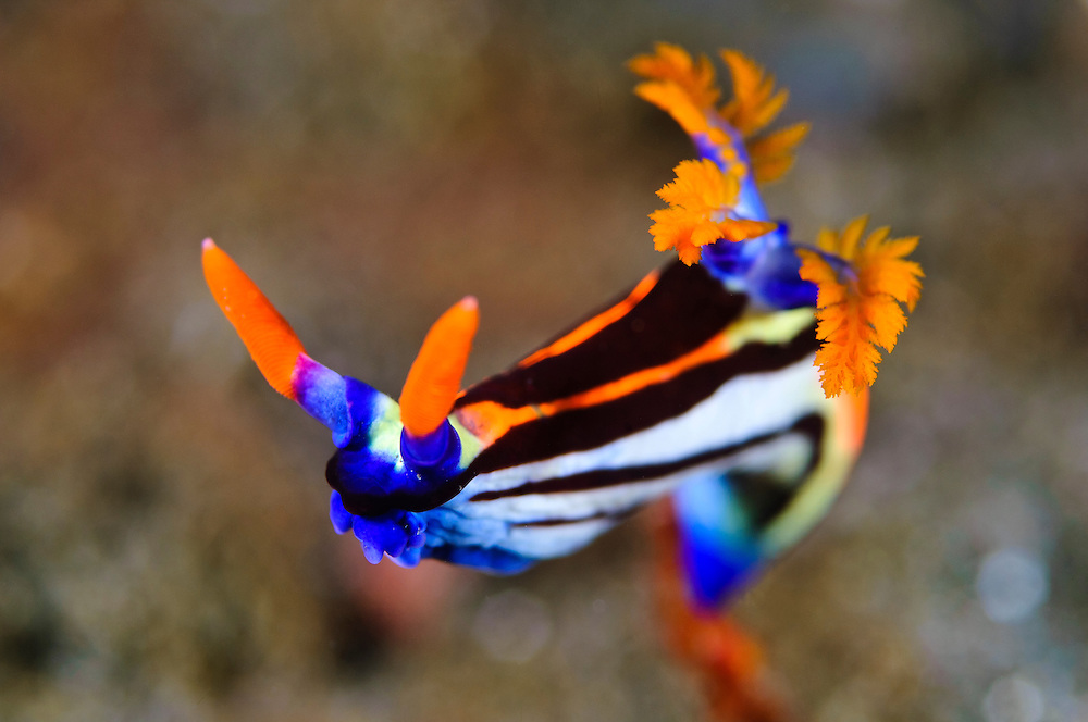 These beautiful nudibranchs are common in the southern part of the Komodo National Park.  Like all nudibranchs, they advertise the toxic nature with bright warning colors and markings.  Obvious are the branched gills and the rhinophores, used by the nudibranch to search for prey. The Komodo National Park is home to the unique Komodo Dragon, but also has some remarkable marine life.  Cold upwellings from the Indian Ocean to the south bring plenty of nutrients, providing food for a spectacular array of different species.