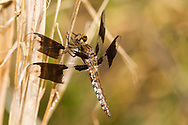 Common Whitetail (Plathemis lydia) - male<br /> United States: North Carolina: Wake Co.<br /> Dorothea Dix Park<br /> Raleigh<br /> 15-Sep-2017<br /> J.C. Abbott #2986