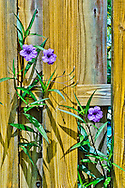 Mexican Petunia flowers on a wooden fence.