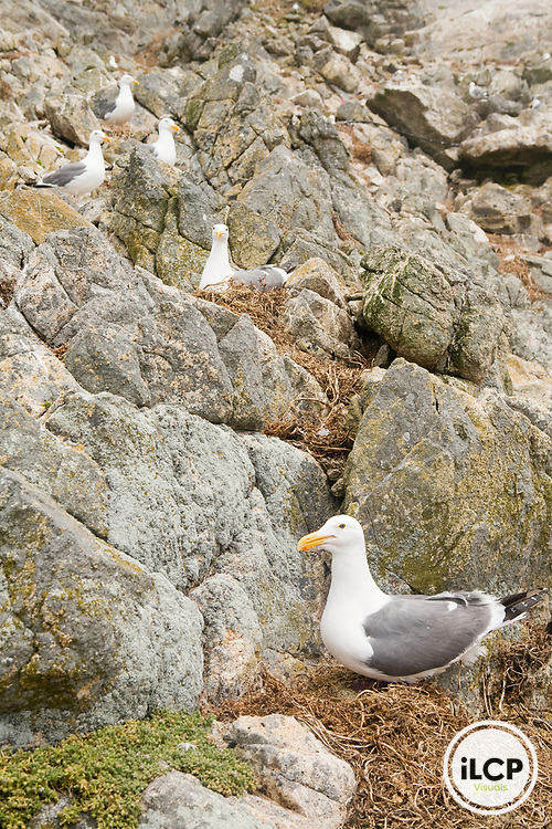 Western Gull (Larus occidentalis) group nesting on cliff, South Farallon Islands, Farallon Islands, Farallon National Wildlife Refuge, California