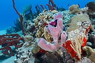 Stove-pipe sponge - Eponge tubulaire violette (Aplysina archeri) and reef, Cozumel, Yucatan peninsula, Mexico.