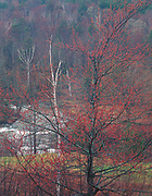 Maple trees budding in spring, Green Mountains, Vermont 1996