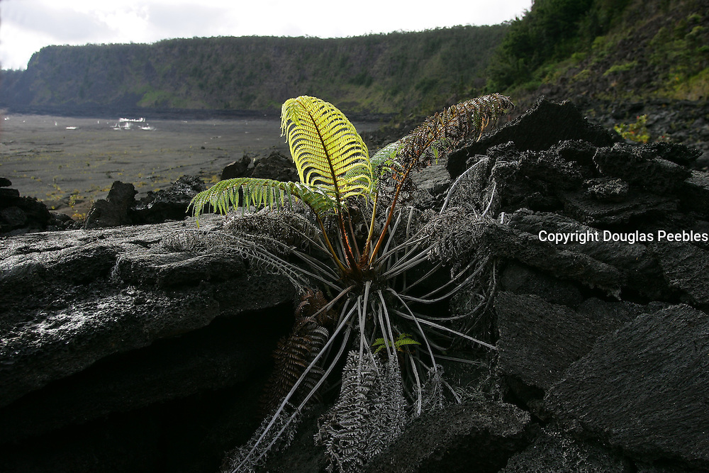 Amau fern , Kilauea Iki, HVNP, Island of Hawaii<br />