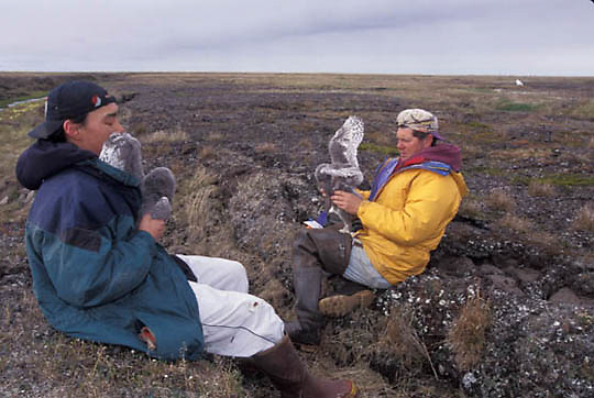 Snowy Owl, (Nyctea scandiac) Jimmy Olemaun,native boy and Denver Holt checking chicks. Barrow, Alaska.
