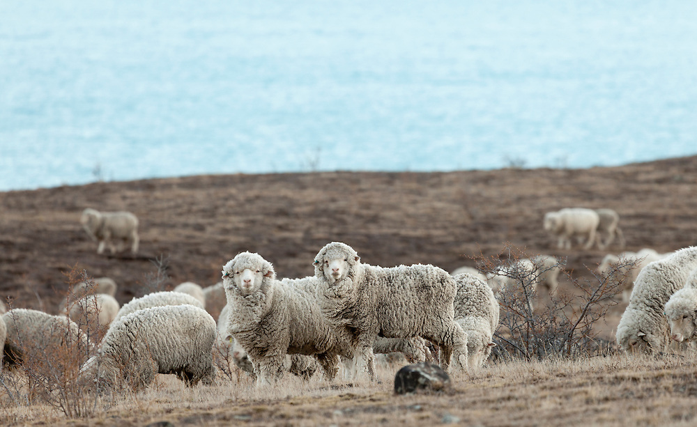 Two merino sheep in a flock look toward the camera in sparse grasslands beside Lake Tekapo.