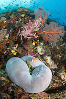 A Pink Anemonefish hovers above its home<br /> <br /> Shot in Indonesia