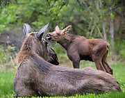 Alaska; Moose (Alces alces) family moment with the calf licking its mother, Anchorage.