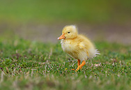 A little yellow baby duck running to catch up with his family