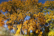 An autumn cottonwood tree revels in a moment of quiet reflection before winter arrives.<br />
