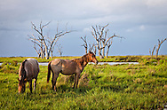 Horses in the marsh in Pointe-au-Chien Bayou in Pointe-aux-Chien, Louisiana.
