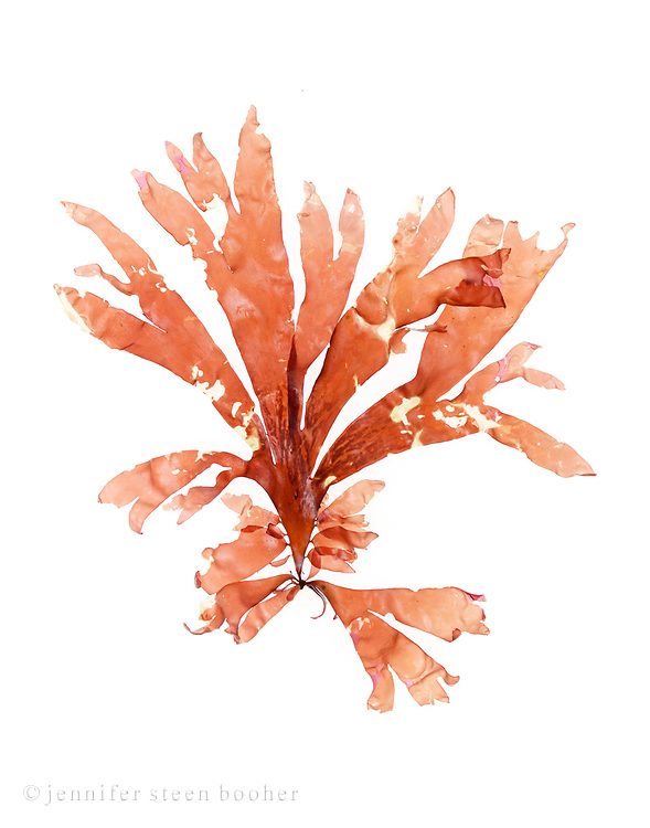 Dulse (Palmaria palmata) is an edible seaweed that grows below the tideline on the cliffs and boulders that line the coast of Maine.