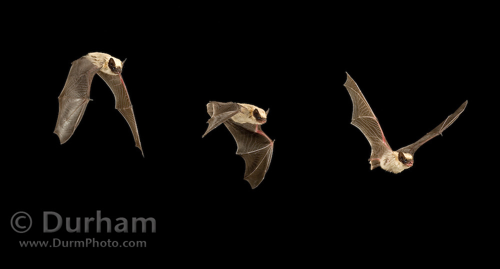 A digital composite of a western pipistrelle bat (Pipistrellus hesperus) in flight. Photographed in Copper Mountains of the Cabeza Prieta National Wildlife Refuge, Arizona.