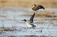 Green-Winged Teal ducks at the Delta Marsh, early Thursday, April 12, 2012. (TREVOR HAGAN)