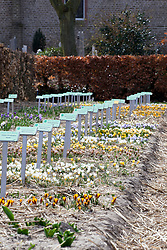 Beds of Crocus chrysanthus at Hortus Bulborum, Limmen, Holland