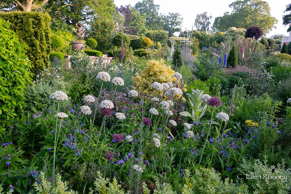 Purple and white Allium and Centaurea in the Laskett Gardens, Much Birch, Herefordshire, UK