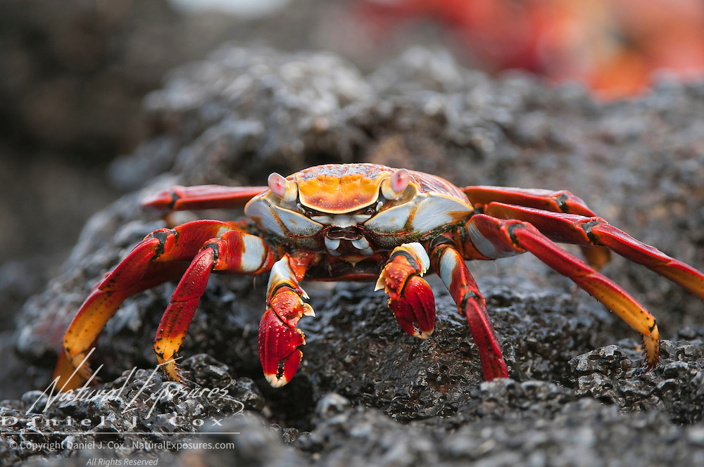 Close up of a Sally Lightfoot Crab on black lava rock near the shoreline at Gardiner Bay, Espanola Island, Galapagos, Ecuador.