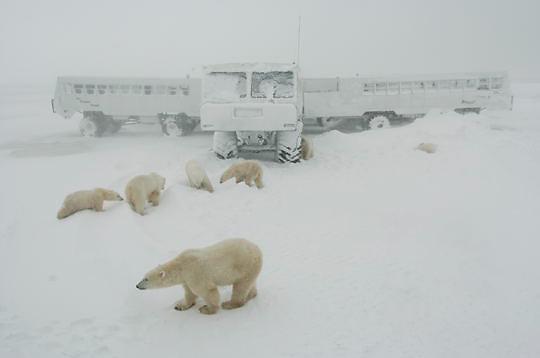 Polar Bear (Ursus maritimus)  Bears resting near Tundra Buggy Lodge. November. Winter. Along the Hudson Bay near Churchill, Manitoba. Canada.