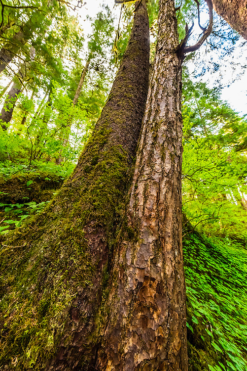 Hemlock and spruce trees on Admiralty Island, near Juneau, Alaska USA. Admiralty Island is home to the highest density of brown bears in North America.