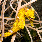 Longsnout Seahorse inhabit areas of sand and rubble attaching to gorgonians, seagrass and other holdfasts in Tropical West Atlantic; picture taken St. Vincent.