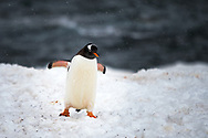 Gentoo penguin at Port Lockroy, Atnarctica