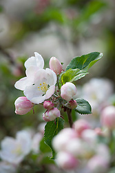Malus 'Discovery' in blossom - apple tree