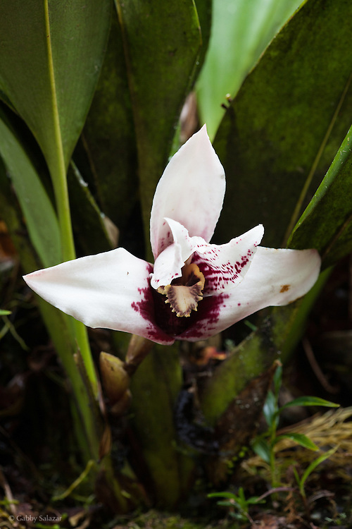 Orchid. Owlet Lodge, Abra Patricia-Alto Nieva Private Conservation Area and Conservation Concession span over 24,000 acres of cloud forests in the Department of Amazonas, along the Northern Peru Birding Route.