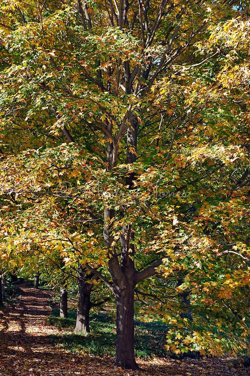 Acer saccharum (Sugar maple). Chanticleer Garden, Wayne, Pennsylvania, USA.