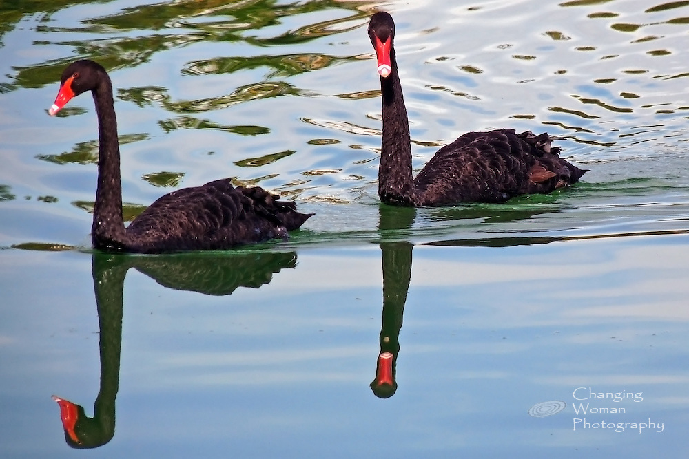 A pair of black swans glides serenely over a lake's mirror surface.