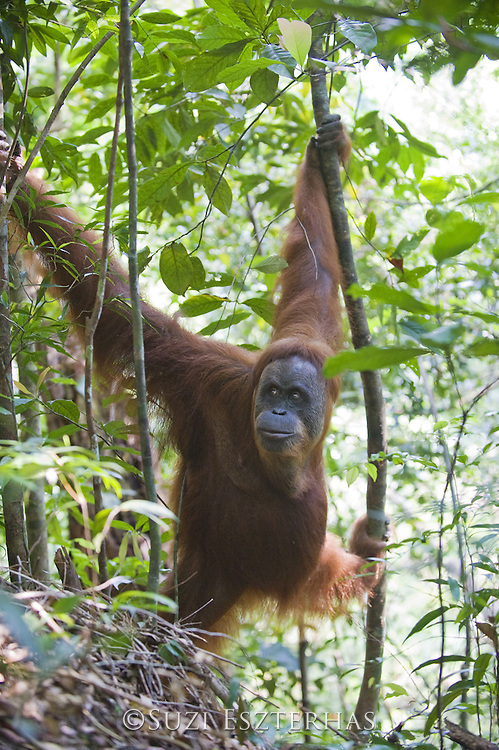 Sumatran Orangutan<br /> Pongo abelii<br /> Adult female<br /> North Sumatra, Indonesia<br /> *Critically Endangered